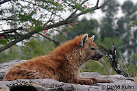 0213-08pp  Spotted Hyena, Laughing Hyena, Crocuta crocuta © David Kuhn/Dwight Kuhn Photography
