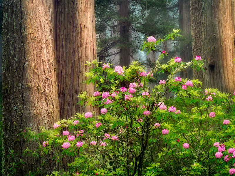 Blooming Rhododendrons and redwood tree. Redwood National and State Parks, California