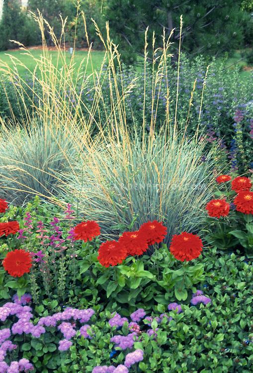 Mostly annuals in the garden: Red zinnia Scarlet Splendor, Salvia farinacea, blue oatgrass, ageratum