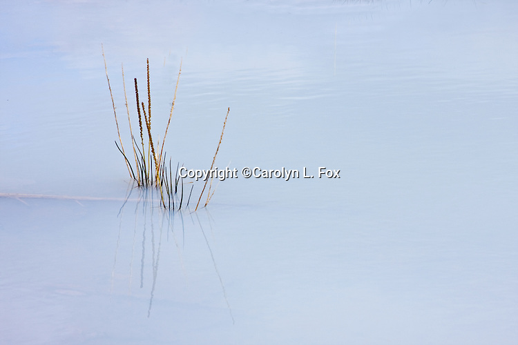 Weeds stick out of a shallow hot pool at Norris Geyser Basin in Yellowstone.