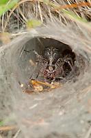 Labyrinthspinne, Labyrinth-Spinne, lauert in ihrem Netz, Trichternetz auf Beute, Agelena labyrinthica, grass funnel-weaver, maze spider, Trichterspinnen, Trichternetzspinnen, Agelenidae, funnel web weavers, funnel-weavers