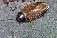 Wüstenschabe, Wüsten-Schabe, Ägyptische Schabe, Polyphaga aegyptiaca, Blatta aegyptiaca, Egyptian Desert Cockroach, Egyptian desert roach, Egyptian cockroach
