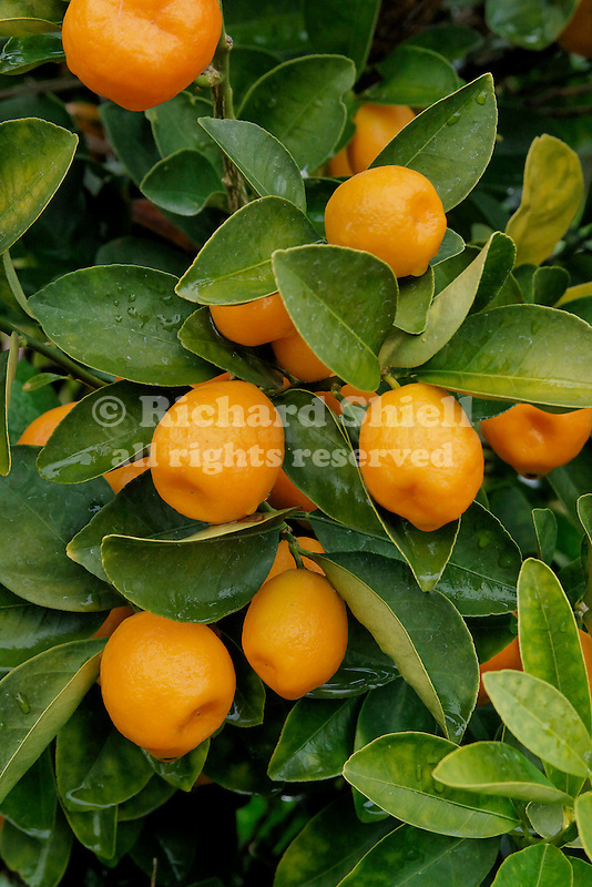 FUKUSHU KUMQUAT, FRUIT, FORTUNELLA OBOVATA