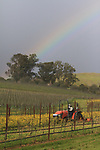 A rainbow seen over mustard fields in Napa Valley, CA