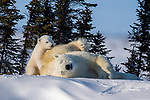 It's my go! Polar bear mum rolls around in snow as her offspring look on by Hao Jiang