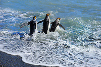 SOUTH GEORGIA - FORTUNA BAY<br /> Playful King Penguins at Whistle Cove<br /> <br /> Full Size: 69,3 MB