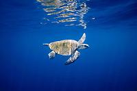 olive ridley sea turtle, Lepidochelys olivacea, male, Costa Rica, Pacific Ocean