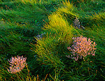 Cape Cod National Seashore, MA<br /> Evening light on Sea lavender (Limonium carolinianum) and marsh grasses near Herring Cove Beach