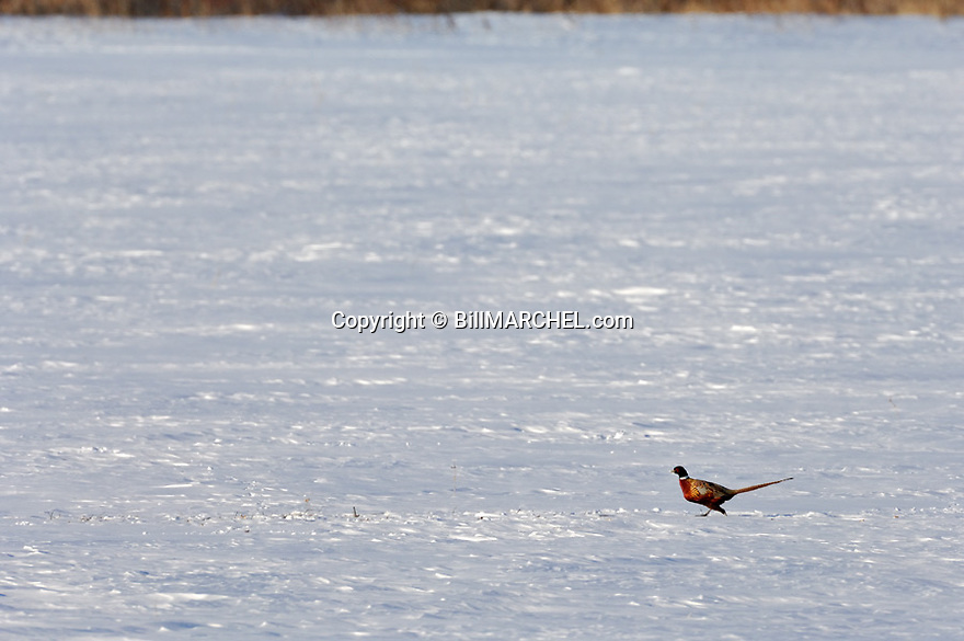 00890-035.20 Ring-necked Pheasant rooster is on a snow covered field during winter.   Hunt, male, color, snow, survive.  H1L1