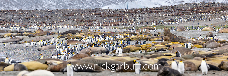 Beach gathering of adult king penguins (Aptenodytes patagonicus) and Southern elephant seals (Mirounga leonina). St Andrews Bay, South Georgia, South Atlantic.
