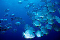 Egypt red sea school of batfish mixed with trevally