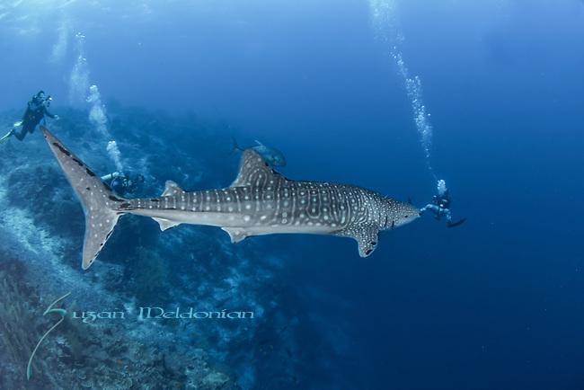 Whale shark meets diver on reef, Rhincodon typus, Tubbataha, Philippines