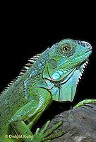 1R10-011a   Iguana - from Central America - Iguana iguana