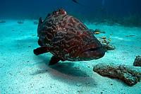 black grouper, Mycteroperca bonaci, Nassau, New Providence, Bahamas, Caribbean Sea, Atlantic Ocean