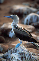 Blue Footed Boobie. Galapagos Islands.