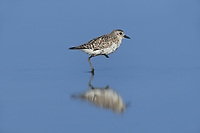 Black-bellied Plover (Pluvialis squatarola), adult winter plumage, South Padre Island, Texas, USA