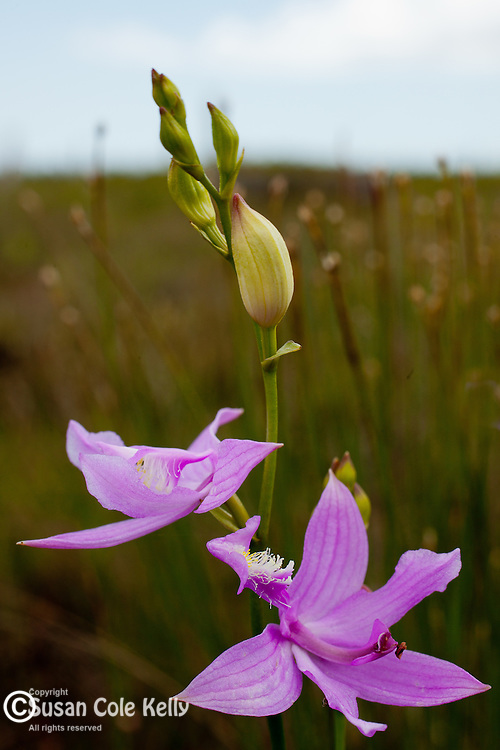 Grass Pink (Calopogon tuberosus) at Corea Heath in Sullivan, ME, USA