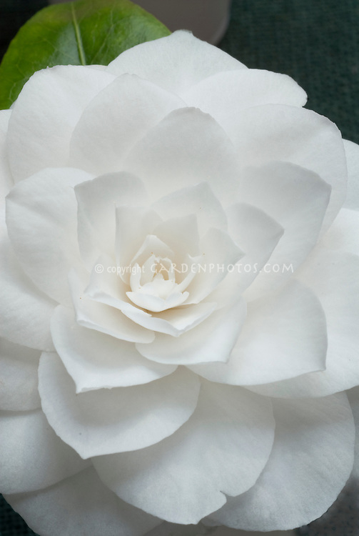 White formal double flowers of Camellia japonica Janet Waterhouse