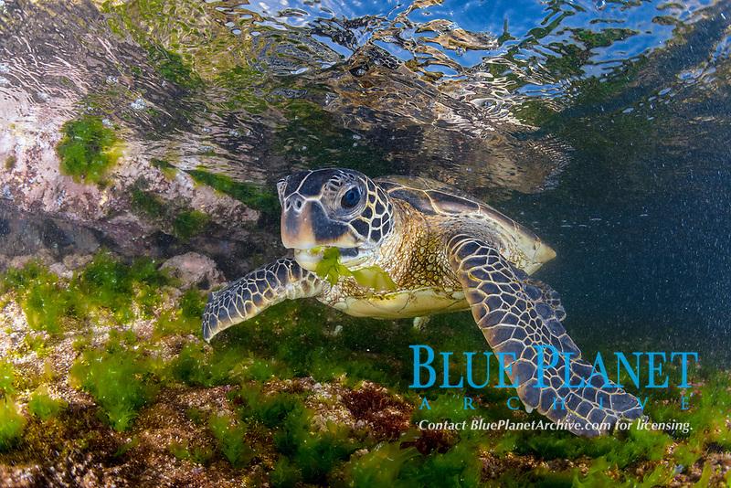 green sea turtle, Chelonia mydas, feeding on algae, endangered species, Laniakea Beach, Oahu, Hawaii, USA, Pacific Ocean