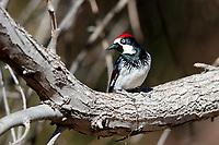 Acorn Woodpecker (Melanerpes formicivorus formicivorus), male in Madera Canyon, Green Valley, Arizona.