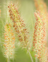 Hameln Fountain Grass close up. Oregon