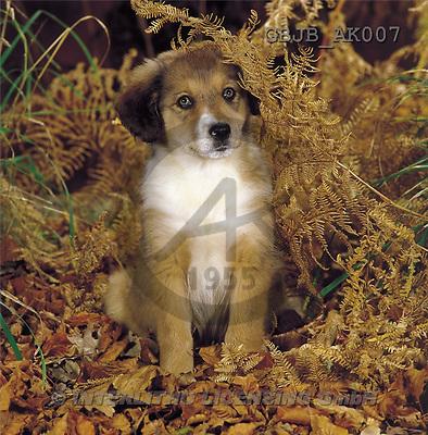 Kim, ANIMALS, dogs, photos(GBJBAK007,#A#) Hunde, perros