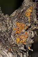 Old vine. Cabernet franc. Domaine Charles Joguet, Clos de la Dioterie, Chinon, Loire, France
