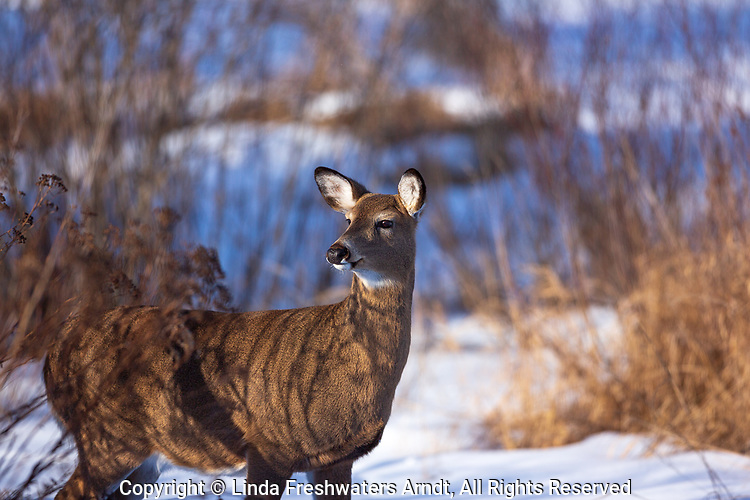 White-tailed doe on a winter's day in northern Wisconsin.