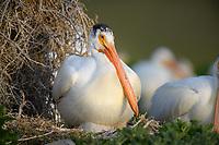 American White Pelican (Pelecanus erythrorhynchos). Lake County, Oregon.