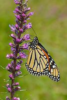 Monarch butterfly (Danus plexippus) obtaining nectar from a Dense Blazing Star (Liatris spicata), at Claridon Prairie, an original tallgrass prairie remnant in Marion County, Central Ohio. L. spicata is native to the Eastern North America.
