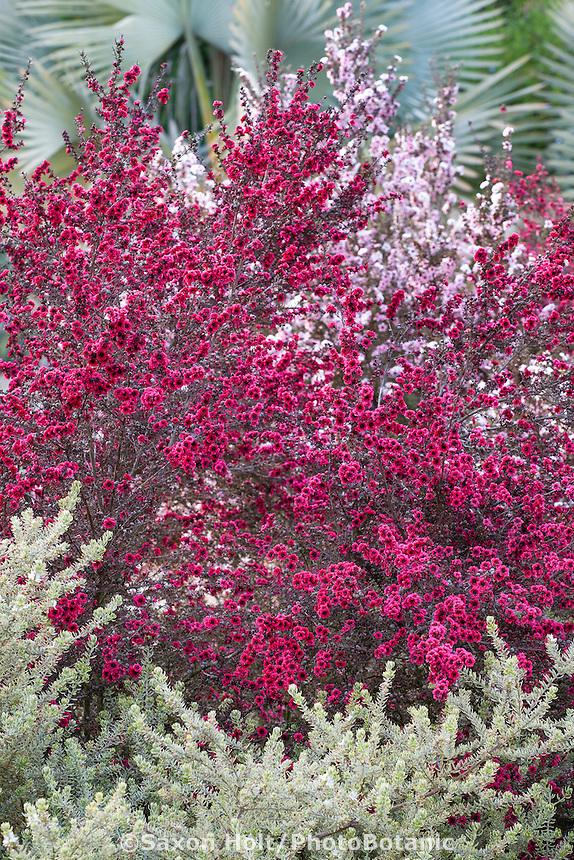 Red, magenta flowering drought tolerant shrub Leptospermum scoparium, New Zealand Tea Tree, in Southern California garden
