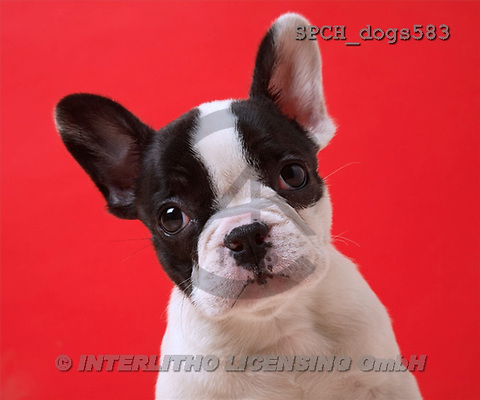 Xavier, ANIMALS, dogs, photos(SPCHdogs583,#A#) Hunde, perros