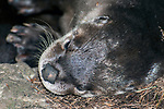 North Ameican river otter, close-up side view of face.