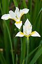 White Siberian iris (Iris sanguinea 'Alba'), mid May.