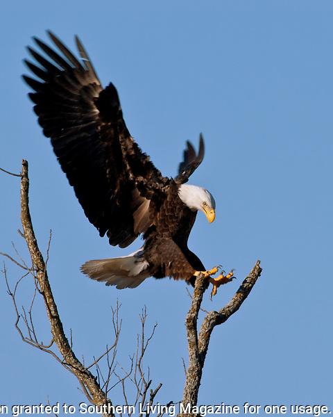 Bald Eagle landing at the Llano, Texas Bald Eagle Nest.  January 30, 2006.