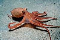 California two-spot octopus, Octopus bimaculoides, California, USA, Pacific Ocean