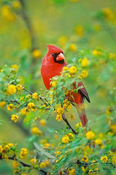 Male Northern Cardinal (Cardinalis cardinalis) sitting in huisache tree.  Texas.  Spring.