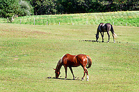 Horses grazing, Tisbury, Martha's Vineyard, Massachusetts, USA
