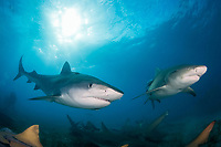 tiger shark, Galeocerdo cuvier, and lemon shark, Negaprion brevirostris, Bahamas, Atlantic Ocean