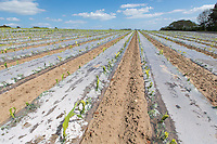 Maize grown under polythene - Lincolnshire, May