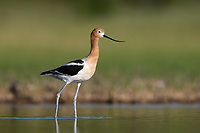 American Avocet (Recurvirostra americana). Lake County, Oregon. June.