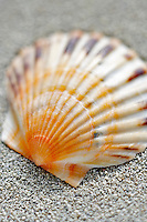 Scallop sea shell and beach sand.