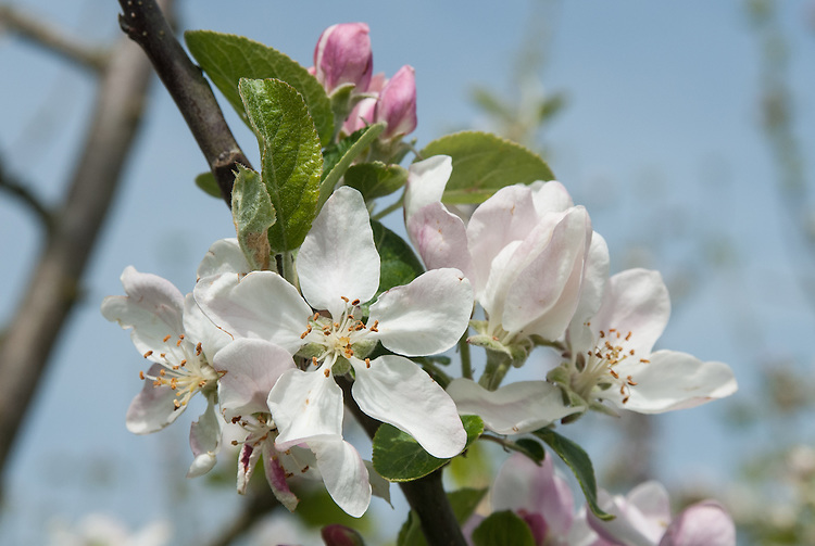 """Blossom of Apple 'Rival', early May. An Engish dessert apple bred by Charles Ross, head gardener at Welford Park Gardens, Newbury, Berkshire. """"By the early 20th century 'Cox's Orange Pippin' was well-established as the premier English apple.  However it was not the easiest to grow, and many attempts were made to cross it with varieties which were easier to manage.  'Rival' is slightly unusual in that the other parent is 'Peasgood's Nonsuch', a well-regarded English cooking apple, which imparts good disease resistance and a much shaper flavour."""" www.orangepippin.com"""