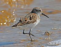 Western sandpiper molting to winter plumage in mid Agust
