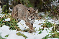 Wild Bobcat (Lynx rufus) stalking through several day old snow.  Olympic National Park, WA.  November.  (Completely wild, non-captive cat.)