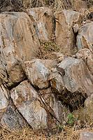 Tanzania. Tarangire National Park. Rock Hyrax on Granite Stones of a Tarangire Kopje (Kopjie).