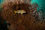Yellow-ribboned sweetlips (Plectorhinchus polytaenia) surrounded by glassy sweepers. North Raja Ampat, West Papua, Indonesia