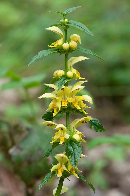 Yellow archangel (Lamiastrum galeobdolon), Devon woodland, late April.