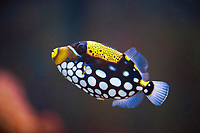 Clown triggerfish (Balistoides conspicillum) in a aquarium, captive, Germany, Europe