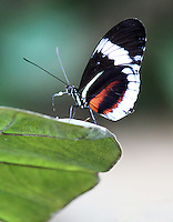 Stock photo: Black, white & Orange Heliconius Butterfly perched with wing closed on the edge of a leaf, close up with details.
